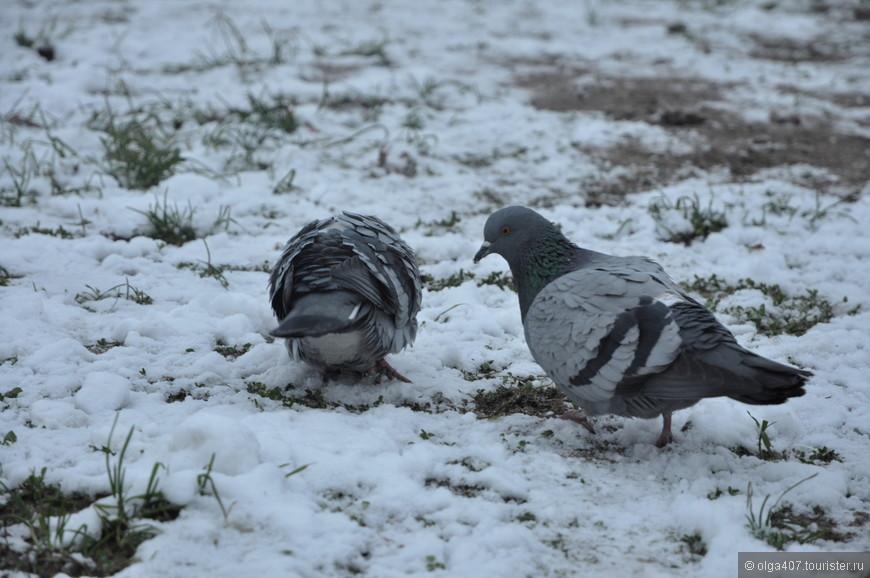 Псковские голуби)