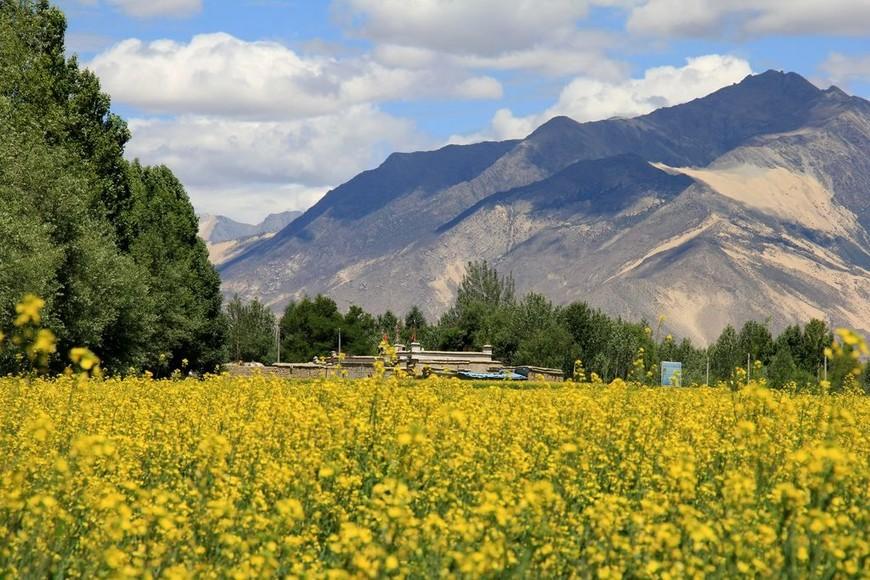 цветущие рапсовые поля, Тибет