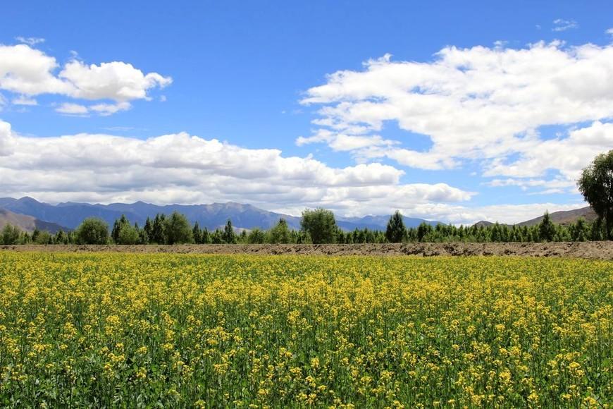 цветущие рапсовые поля, Тибет, район Шаньнань