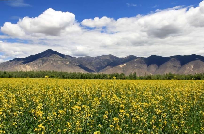 цветущий рапс, поля Шаньнань, Тибет