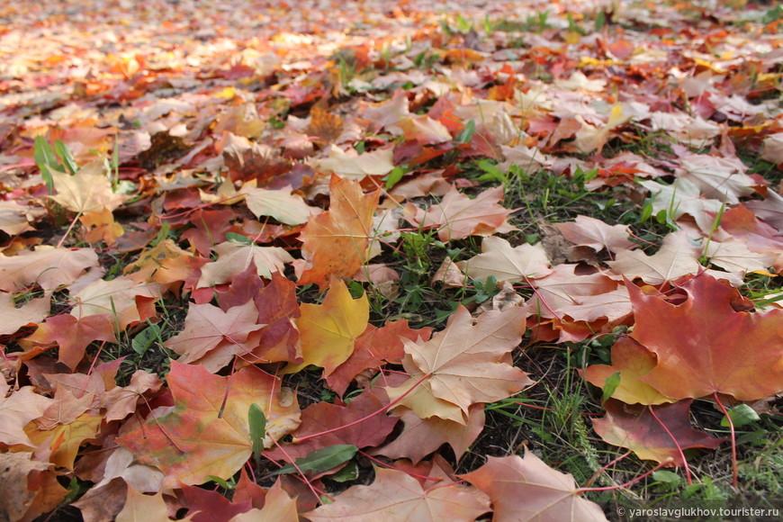 Целая россыпь кленовых листьев — такое нечасто встретишь.
