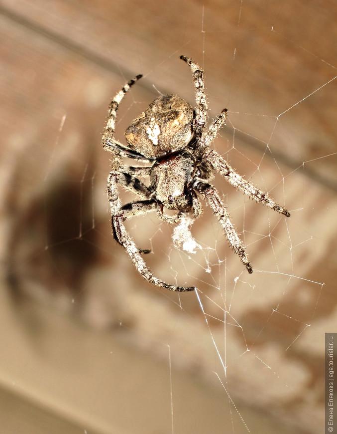 Большой крестовик свил паутину у моей входной двери. С детства панически боюсь пауков и паутины.