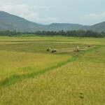 поле рисовое.jpg