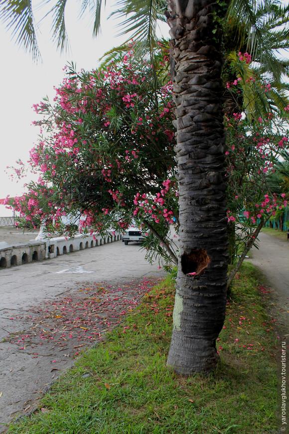 Аллеи парка тянутся вдоль побережья Чёрного моря, а такие яркие розовые цветы, которые растут во многих местах Абхазии, очень украшали здешние пейзажи.