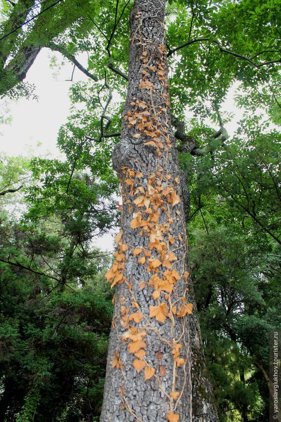 Дерево с жёлтыми листьями на стволе привлекло наше внимание.