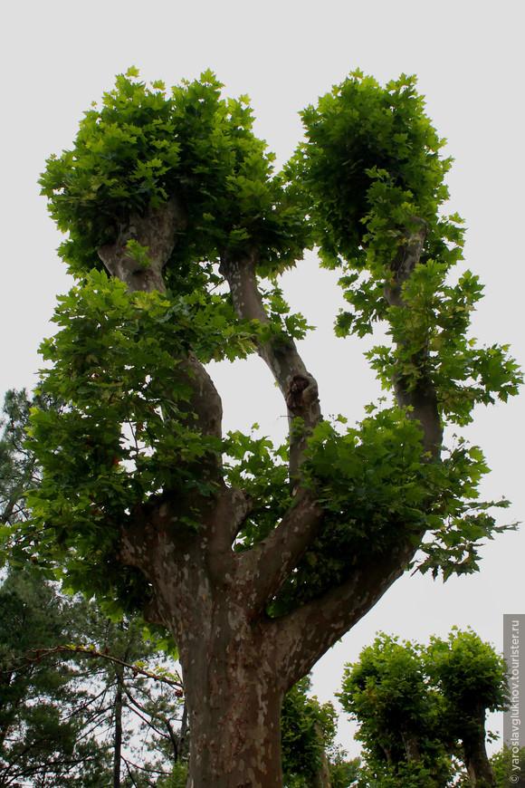В Приморском парке растёт более 400 видов различных деревьев, привезённых с разных уголков Земли.
