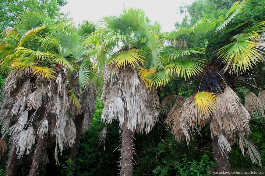 Пальмам не хватает воды, поэтому некоторые листья уже засохли.