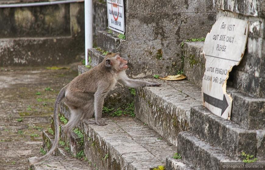 Обезьяны - священные животные в храме. Обезьяны хорошо это запомнили и безнаказанно пользуются своим особым статусом.