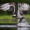Скопа возвращается к гнезду с уловом, благо лосось в здешних краях рыба не редкая
