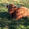 Высокогорная длинношерстая корова