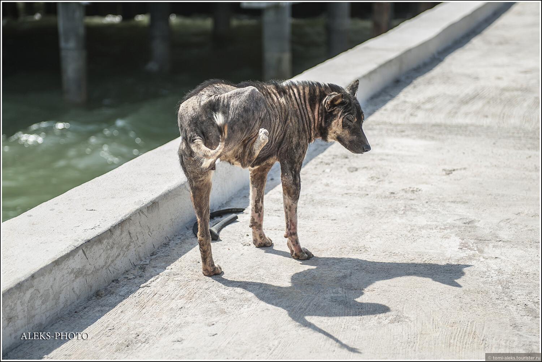 А вот и плешивые собаки. Я сначала не понял — думал это единичный случай. Оказалось, что почти все собаки на этом острове страдают стригущим лишаем. Они часто бегают вот так на трех ногах, потому что четвертой все время чешут себе спину. Бедные животные. А тайцам, похоже, — все по боку. Плешивые — ну и ладно..., 10. Остров плешивых собак (Таиланд)