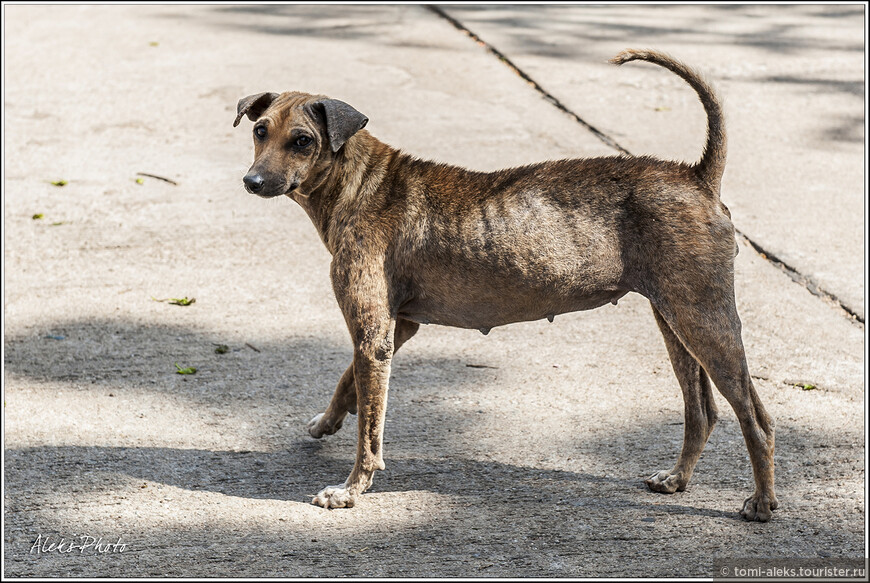 Привет. Еще один экземпляр местной фауны. Тайские собаки выглядят почти все одинаково. Здесь редко встретишь мохнатых псов. Видимо, климат диктует...