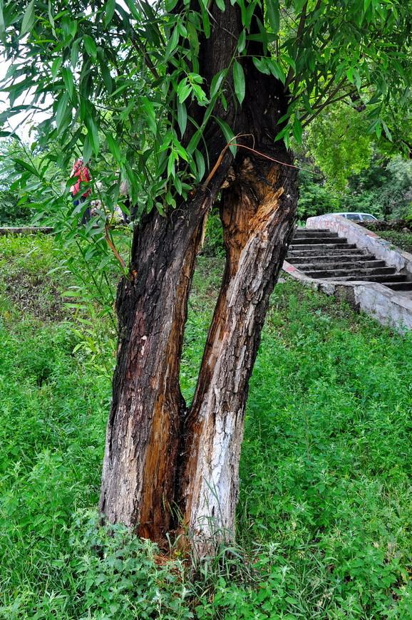 10. Очень интересно растет дерево.