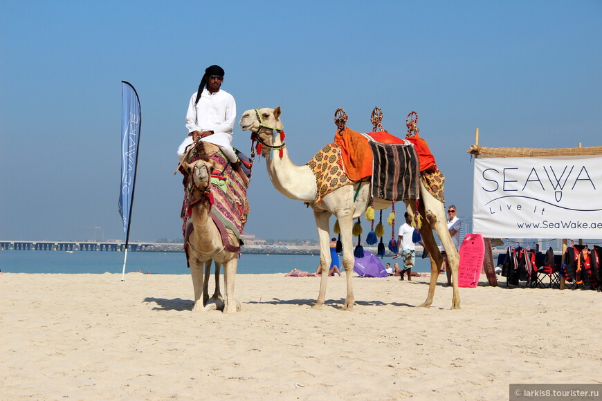 Корабли пустыни на пляже используются туристами для эффектных фото.