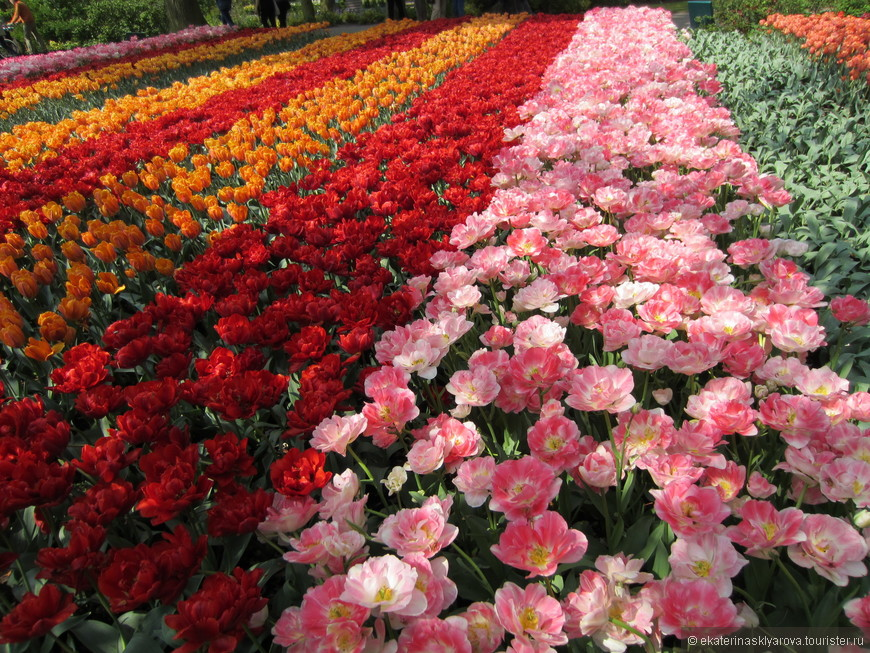 Тюльпаны различных форм и расцветок.