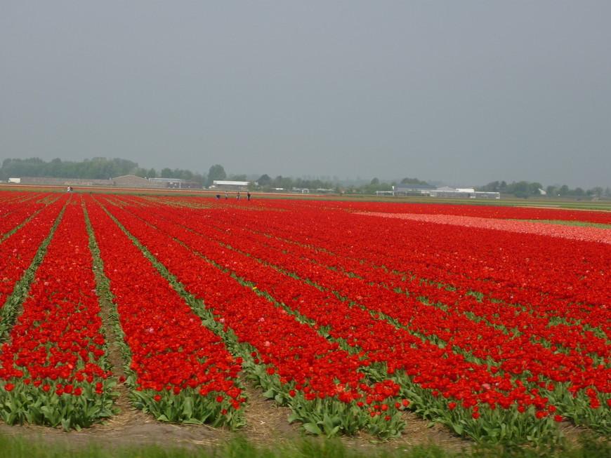 Вокруг парка поля цветов, которые выращиваются для продажи на семена и луковицы.