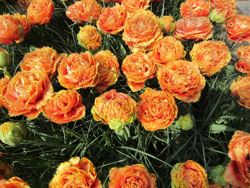Это тоже тюльпаны.