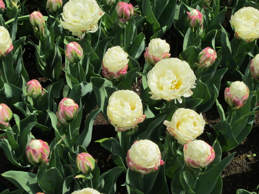 Тюльпаны похожие на пионы.