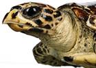turtlehawksbill