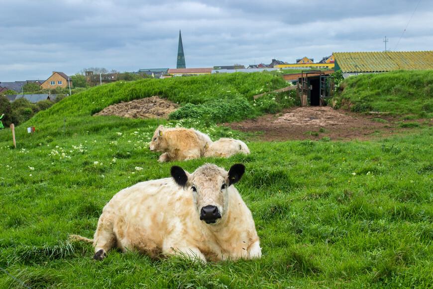 На особо сочной травке пасутся счастливые коровки