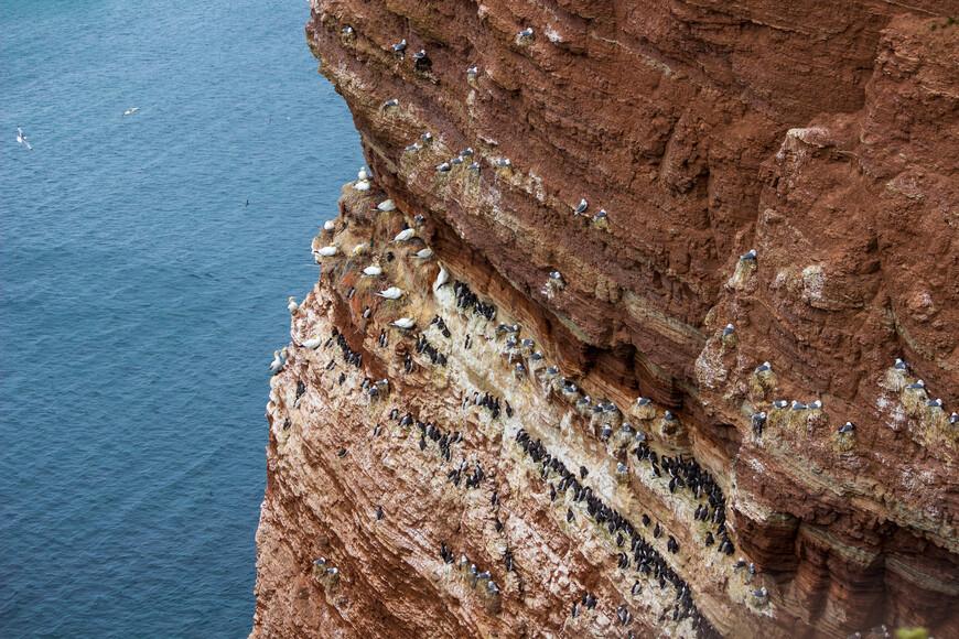 Дело в том, что птенцов этой птицы никто не учит летать, в один прекрасный момент они просто бросаются со скал вниз, ныряют в воду и взлетают