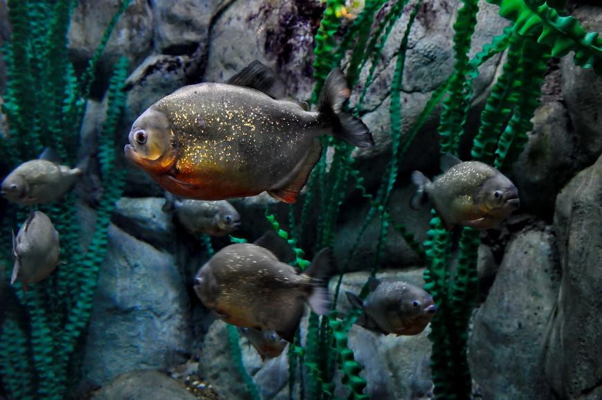 13. Довольно злобная рыба. Такая и в кошмаре присниться может.