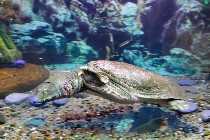 21. А вот черепаху узнать можно сразу. Интересно устроена экспозиция – рыбы, как более глупые и мелкие создания, плавают в больших аквариумах, а большая черепаха заблокирована в этом, размером метр на метр.