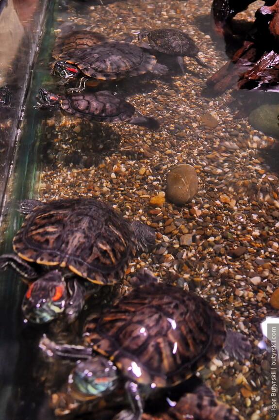 22. Красноухие черепахи. Очень агрессивные животные, у меня в детстве такая была, постоянно кусалась.