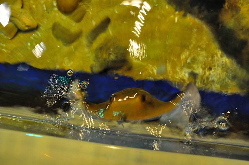 37. Вот этот друг так и норовил выпрыгнуть из аквариума.