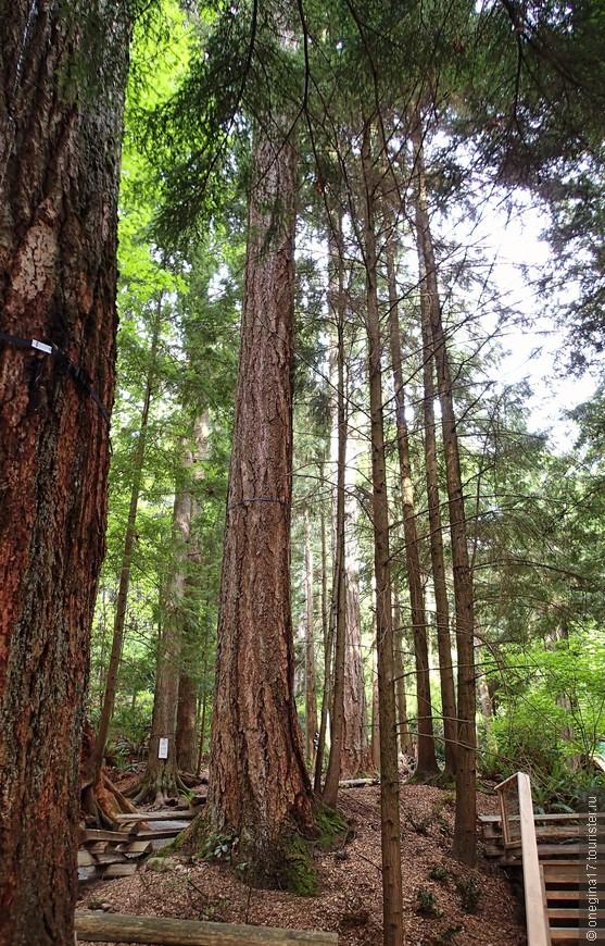 В парке растут могучие канадские кедры, чей возраст, объемы и высота несколько поколебали в моих глазах впечатление от американских секвой.