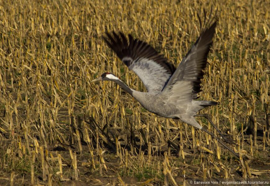 Журавлиный крик может предупреждать об опасности, служить сигналом к взлету.