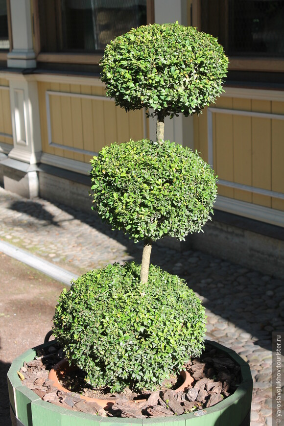 Интересно подстриженное растение при входе в Голубятню.