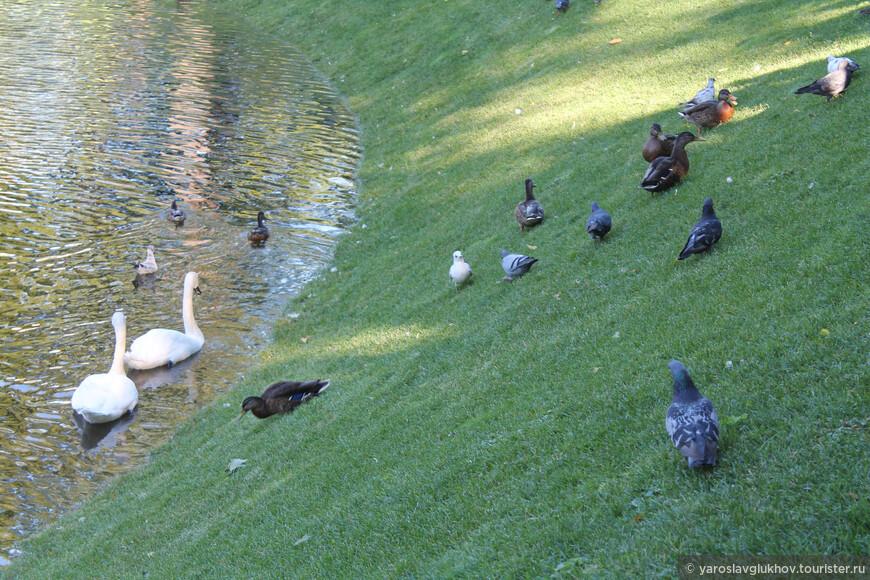 Лебеди и голуби у пруда.