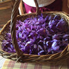 Тоскана, САн Джиминьяно, цветки крокуса, из которых добывают шафран, экскурсии по Флоренции и Тоскане с частным индивидуальным гидом на русском языке