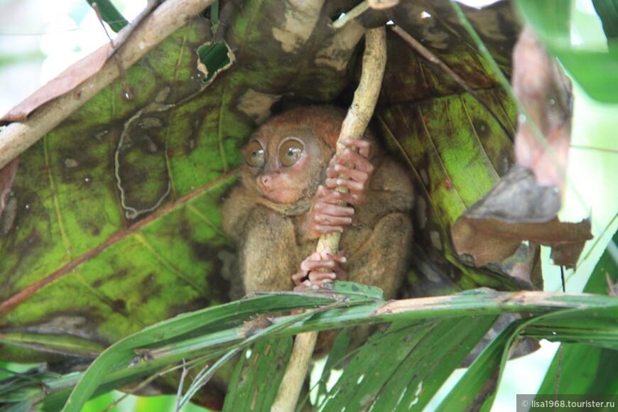 о.Бохоль  Долгопя́ты (лат. Tarsius). Хорошенькие, но,  хвост у них как у крысы, около 25 см.