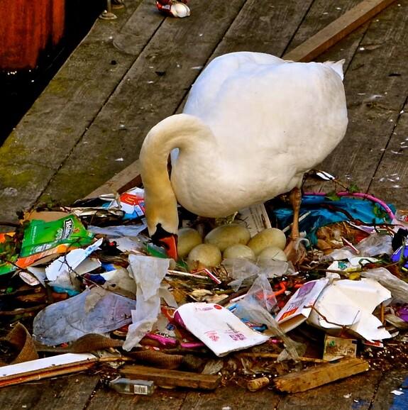 Вот так вот амстердамские лебеди откладывают яйца!