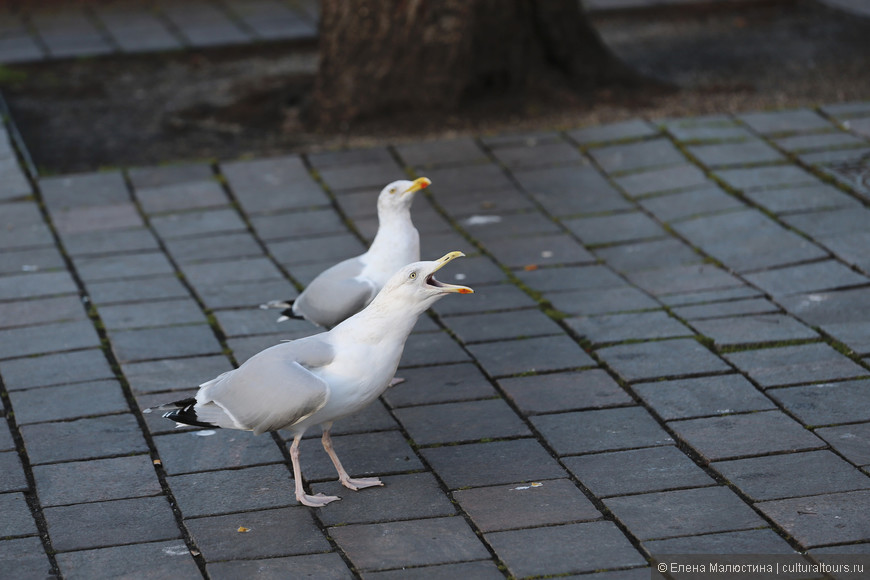 Голодные и коварные чайки в Гааге, у здания Парламента