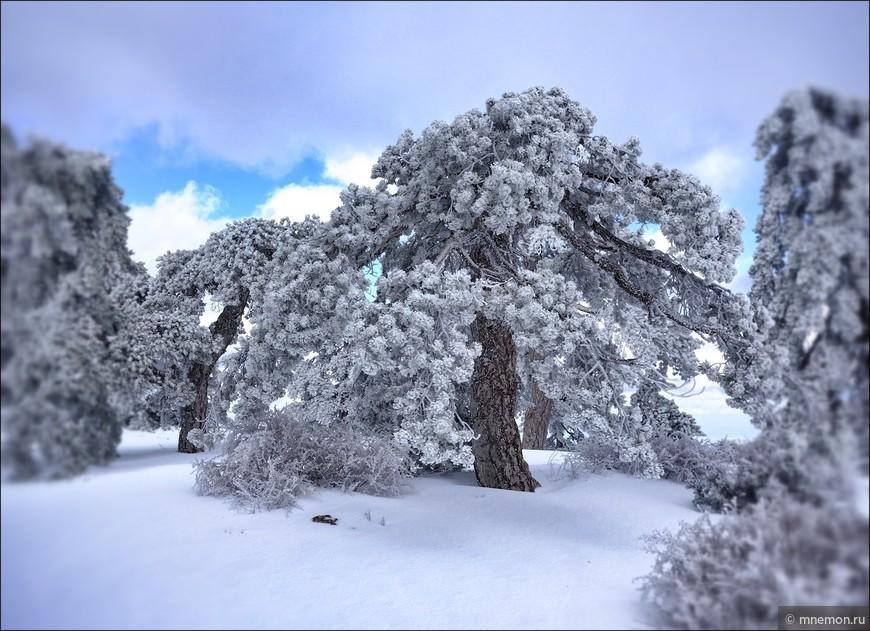 Кипрская сосна, покрытая снегом