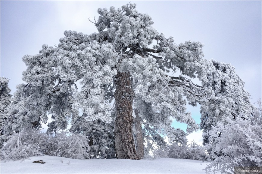 На самом деле ветви этих кипрских сосен растут под углом 90 градусов к стволу. На букву Т похожи. Но когда на них ложится снег, ветви пригибаются к земле.