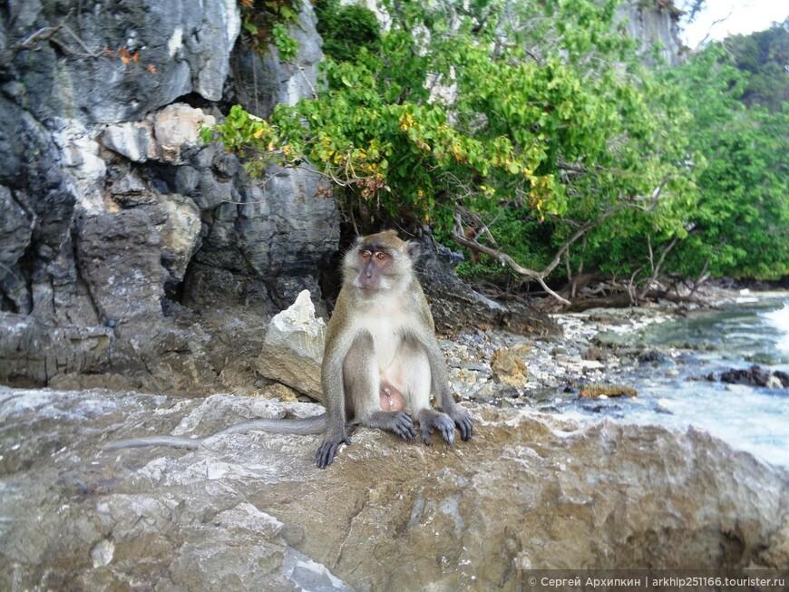 На пляже обезьян