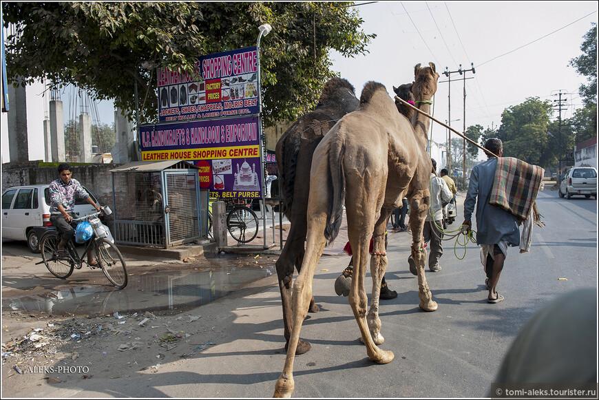 А вот эти верблюды - то ли отработали уже свою повозочную смену, то ли это элита, которую просто водят под узцы. Но выглядят эти махины впечатляюще. Представляете где-нибудь на улице Москвы такого гиганта? Весят они около 500-800 кг, а живут - до 50 лет.