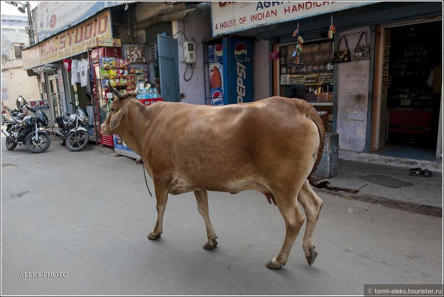 """Корова на подступах к Тадж-Махалу. Для разнообразия сюжета. Гуляет сама по себе, как и все прочие коровы Индии. Но оказывается все эти коровы имеют своих хозяев-опекунов. А эта - прямо ухоженная какая-то. Мы уже знаем, что молоко коров в Индии - священное. Но оказывается, индийцы очень уважают и молоко верблюдов. Ученые выявили, что в молоке верблюда много витаминов C и D и еще много разных микроэлементов. В общем, это молоко зовут """"напитком бедуинов"""", из которого они получают, практически все полезное для себя."""
