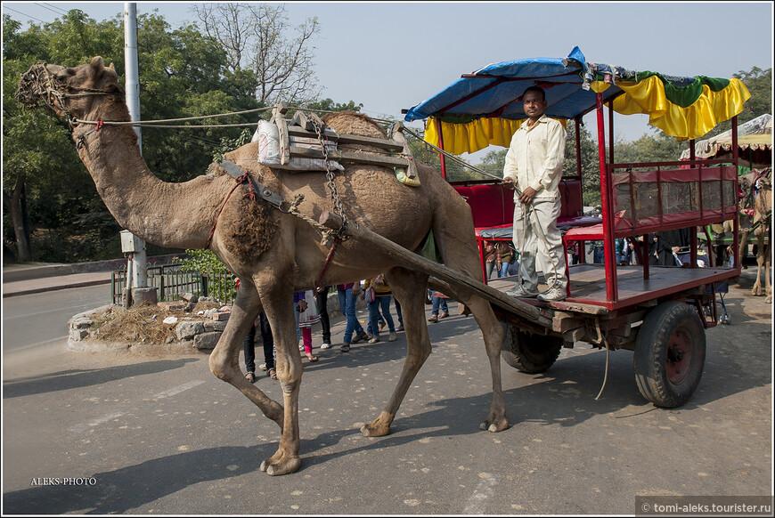 Садись, дорогой! Подвезу прямо ко входу. Но мы ведь - жадные туристы, вернее, экономные. Так что топаем пешком. От скольких подобных удовольствий приходится отказываться в поездках. Интересно, что в Индии проходят даже фестивали верблюдов. К примеру, - в городе Биканер, в пустыне Тар, в штате Раджастан. На этом фестивале верблюдам делают особую художественную стрижку с рисунками. И проводится верблюжий конкурс красоты. Удивительно, что густая, словно ковер, верблюжья шерсть очень подходит для такого рода художеств.