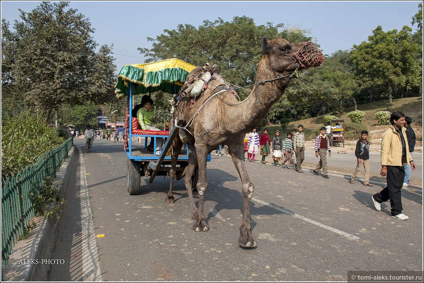 Говорят, что опрокинув стаканчик верблюжьего молока, ощущаешь резкий прилив энергии. Молоко верблюдов солоноватое на вкус и далеко не все способны переварить этот продукт сразу. И это чревато таким же эффектом, как после выпитого сока тростника. В общем, индийские напитки далеко не всем по вкусу. Подробнее о верблюжьем молоке можно прочитать, например, здесь: http://www.poleznenko.ru/verblyuzhe-moloko-poleznye-svojstva.html