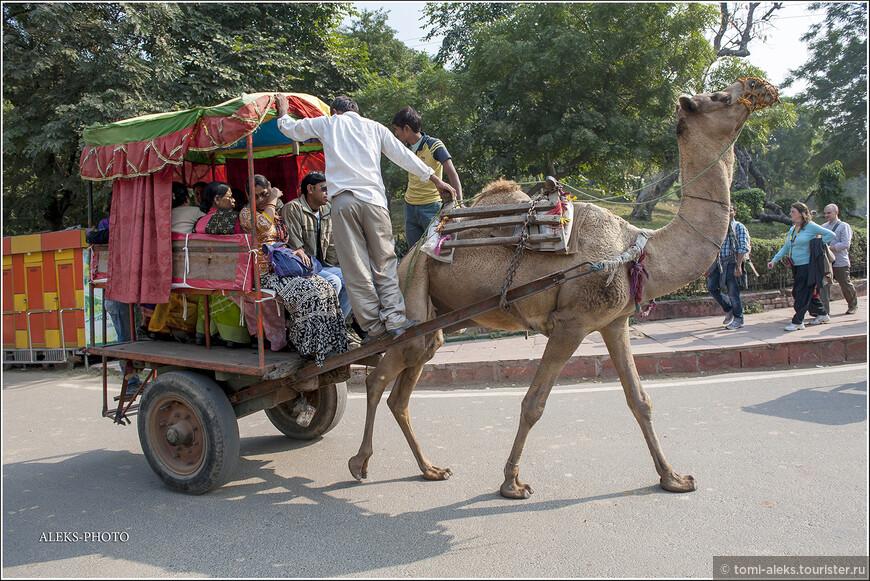 Загрузились под завязку - можно теперь трогать. А то корабль пустыни уже застоялся на месте. И норовит пуститься галопом... Ведь эти животные даже участвуют в скачках. В Индии как раз высоко ценится раджпутанская порода одногорбых верблюдов. Скорее всего, это представители именно этой породы.