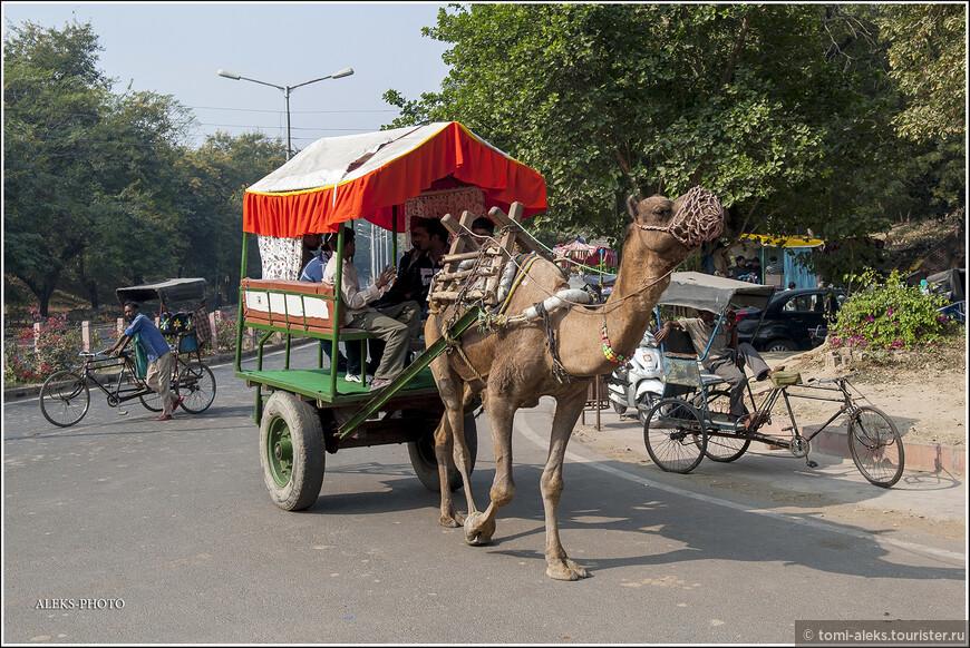 А вот и главный объект этого фото альбома. Верблюды - один из распространенных видов транспорта в Индии. И ведь как ловко их впрягают в телегу. По ходу немного порассуждаем об этих животных. Существует два вида верблюдов: бактриан (двугорбый) и дромедар (одногорбый). Сдается мне, что это перед нами - одногорбые верблюды. Под седлом горб не очень видно...