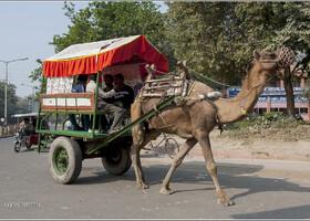 Верблюды  на подступах к Тадж-Махалу (Индия)
