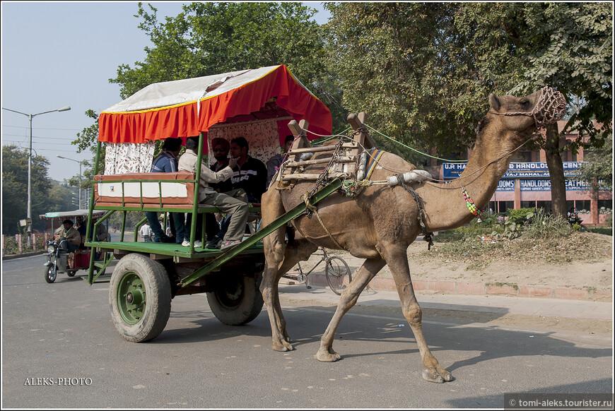 """Интересно как устроено седло для верблюда - ничего общего с лошадиным. И как наездники умудряются на таком сидеть... Седло как раз одевается на горб. Название одногорбого верблюда - """"дромадер"""" - греческого происхождения. И означает - """"бегущий"""". Так что ходить вальяжно, будучи запряженным, это далеко не все, на что способны эти изящные животные."""
