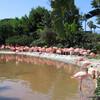 Чудесные фламинго в парке Морской Мир