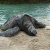 Огромная черепаха Тортилла